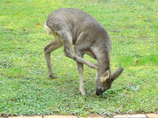 roe-deer-1142741_640.jpg